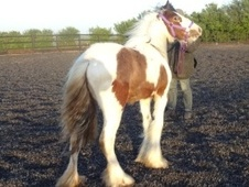Young Stock  horse - 1 yr 1 mth 15.0 hh Skewbald - West Yorkshire