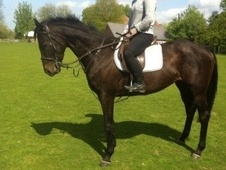 All Rounder horse - 5 yrs 16.0 hh Dark Bay - Kent