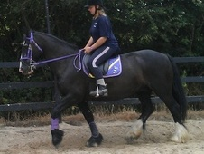Cobs horse - 12 yrs 15.0 hh Black - Essex