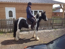 All Rounder horse - 5 yrs 13.3 hh Piebald - Cheshire