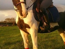 Fantastic all round pony for sale
