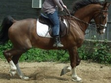 Genuine, KWPN Stunning 16. 3 Dutch Warmblood- Dressage/show/all r...