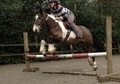 All Rounder horse - 6 yrs 14.1 hh Other - Warwickshire