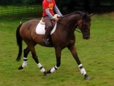 Handsome Smart 16. 2 Gelding 11yrs Rc/hunt . Safe Hack