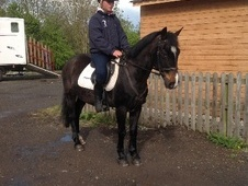 All Rounder horse - 11 yrs 13.3 hh Dark Bay - Cheshire