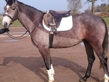 Stunning potential eventer