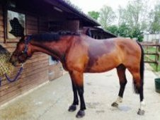 Dressage Horse/All rounder for sale