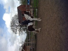 All Rounder horse - 10 yrs 15.0 hh Skewbald - Cheshire