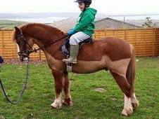 Fully Registered Welsh Section A 6 year old Chestnut Gelding 11''...