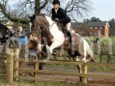All Rounder horse - 7 yrs 16.0 hh Skewbald - Nottinghamshire