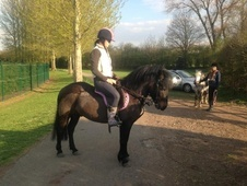 All Rounder horse - 5 yrs 13.2 hh Dark Bay - West Midlands