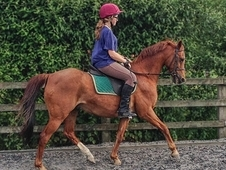 Bobcat, 13. 2h, Bristish Riding Pony, 17 Years - Hampshire