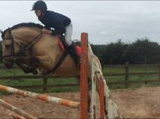 15hh 7yr Old Dun Registered Connemara