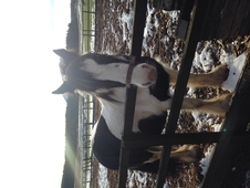 12 years old 13. 2hh piebald cob mare for sale