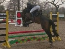 All Rounder horse - 4 yrs 15.2 hh Bay - Cheshire