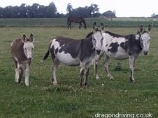 Breeding Stock Of Coloured Donkeys