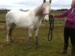 Showing horse - 2 yrs 15.2 hh Grey - Shropshire