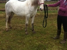 Young Stock  horse - 2 yrs 15.2 hh Grey - Shropshire