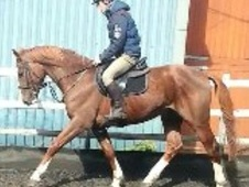 All Rounder horse - 3 yrs 16.0 hh Chestnut - Cheshire