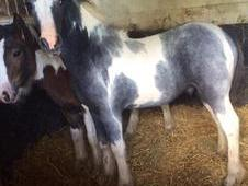 Stunning Clydesdale X Cob Colt