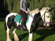 Family Cob 14hh Bombproof