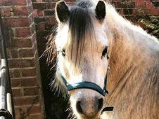 13 year old, 12hh Welsh Pony