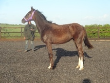 Potential young sports horses horse - 1 yr 1 mth 15.2 hh Iron Gre...