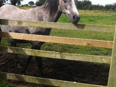 All Rounder horse - 4 yrs 13.2 hh Grey - Shropshire