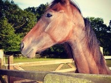 13 Month Old Thoroughbred X Section D Colt For Sale