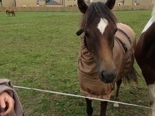 **Fantastic Lead Rein Prospect** Part Bred Welsh Section B Mare