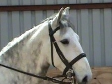 All Rounder horse - 8 yrs 14.2 hh Grey - East Sussex