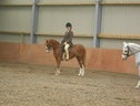 Working Hunter/ WHP horse - 4 yrs 1 mth 12.2 hh Chestnut - Caithness