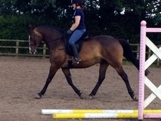 Riding Club Horses/Ponies horse - 12 yrs 16.0 hh Bay - Cheshire