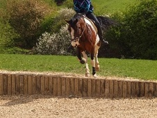 All Rounder horse - 7 yrs 14.3 hh Tri-Coloured - Leicestershire