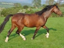 All Rounder horse - 4 yrs 15.1 hh Bay - Shropshire