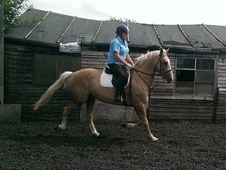 Stunning 16hh Palomino Irish Sports Horse