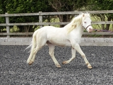 Stunning Section A cremello gelding