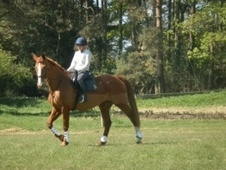 All Rounder horse - 12 yrs 1 mth 16.2 hh Chestnut - Norfolk
