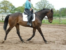 Dressage horse - 12 yrs 3 mths 16.1 hh Dark Bay - North Yorkshire