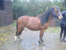 Welsh A Ideal Childs Pony