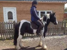 All Rounder horse - 5 yrs 13.2 hh Piebald - Cheshire