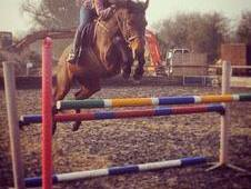 Talented 15. 2hh Bay Mare