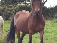 Smart show quality welsh cob section d mare with superb bloodlines