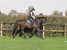 Riding Club Horses/Ponies horse - 11 yrs 16.3 hh Dark Bay - Cambr...