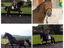Top Quality Dressage 3 Year Old