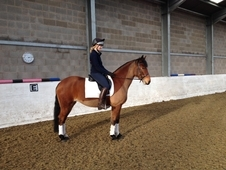 14. 2hh 7year Old Irish Bred all rounder