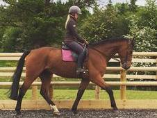 Bailey 16. 2hh Reg Irish sports horse 8 years old