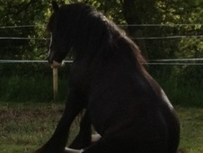 Cobs horse - 8 yrs 1 mth 14.2 hh Black - North Yorkshire