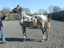 part bred Appaloosa yearling colt
