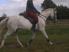 Stunning Grey Mare Now Backed And Ridden Away